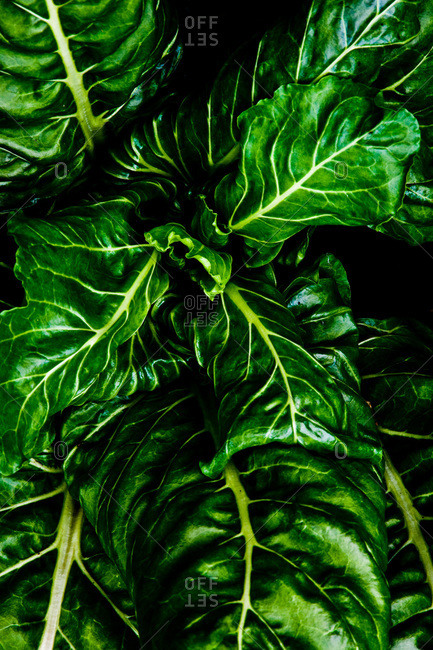 Close up of Swiss chard leaves