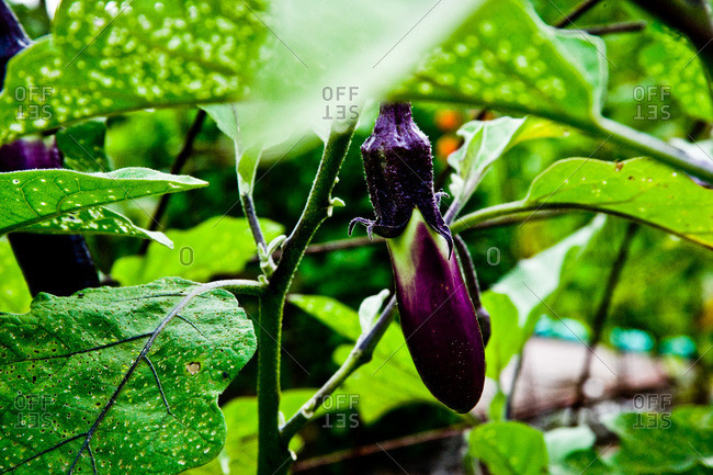 Close up of a ripening eggplant in a garden