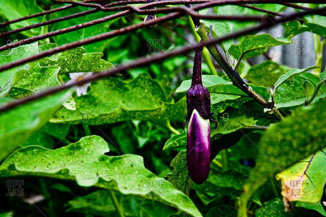 Ripening eggplant in a garden