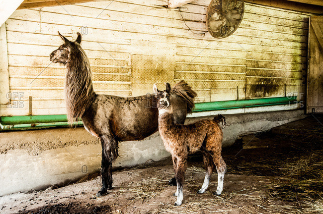 Female llama and its baby in a stable