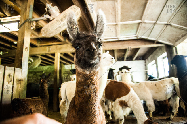 Curious baby llama in a barn