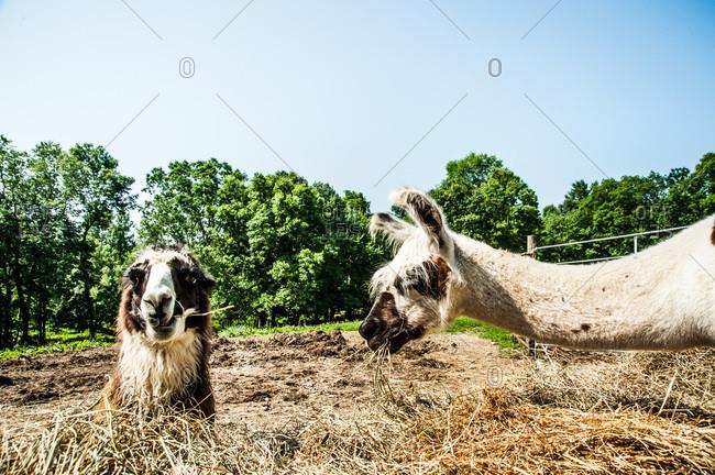Male llamas munching hay in a farm
