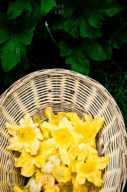 Zucchini blossoms in a basket