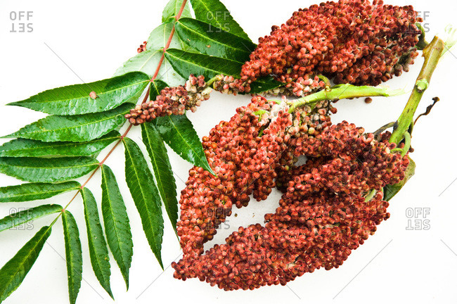 Sumac leaves and drupes