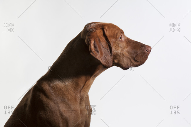 A vizsla gazes forward