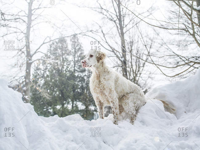 A dog sits on a pile of snow