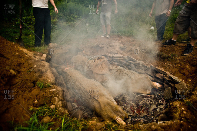 Whole pigs in barbecue pit in ground