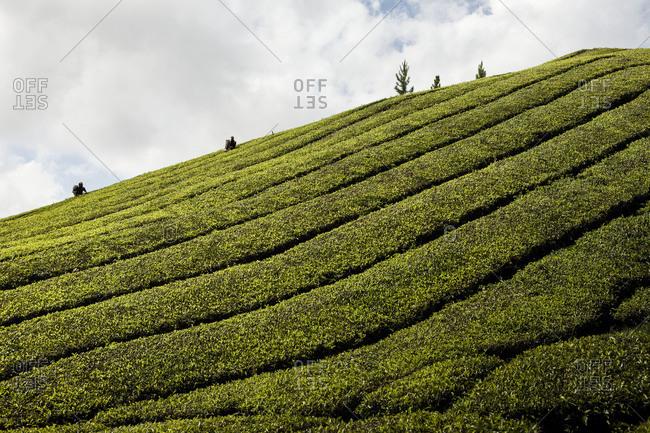 People harvesting tea leaves in a plantation