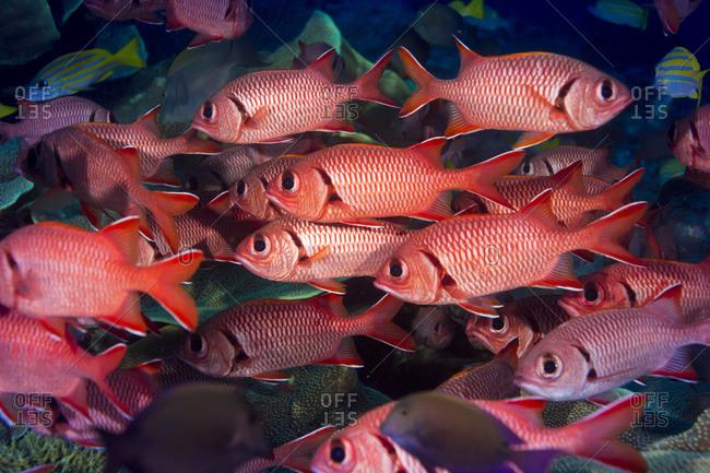 Pinecone Soldierfishes, Myripristis murdjan