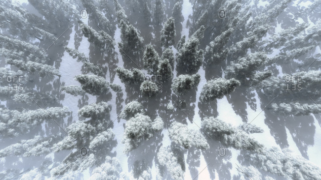 Aerial view of a snowy winter pine forest