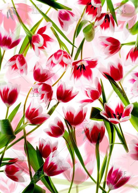 Studio shot of red tulips