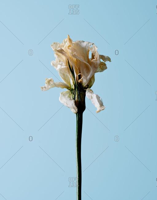 Studio shot of a dry flower
