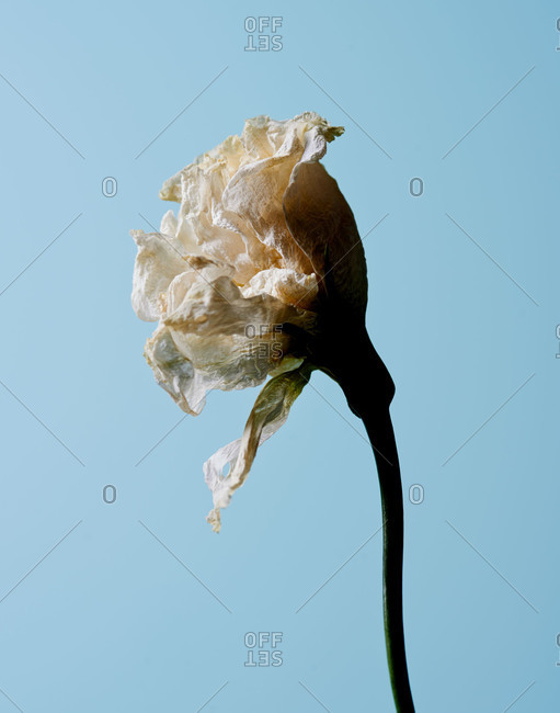 Studio shot of a wilting flower