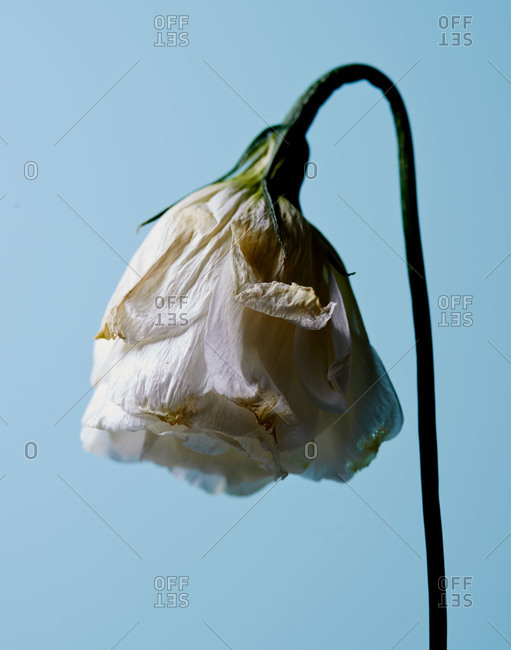 Close up of a wilting flower