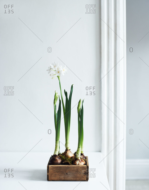 Growing paper whites in a box