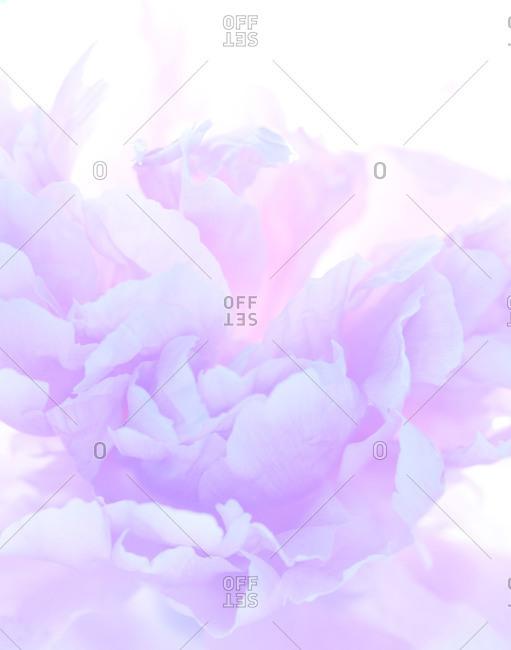 Close up of a purple peony