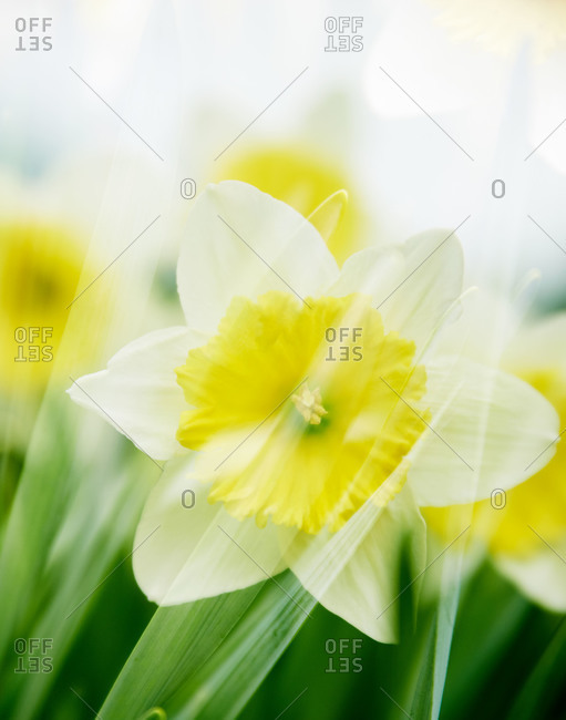 Yellow daffodils in a garden