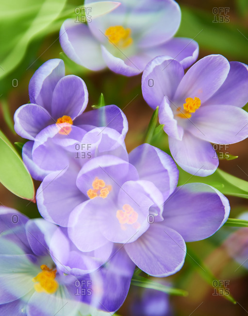 Purple crocus flowers in a garden