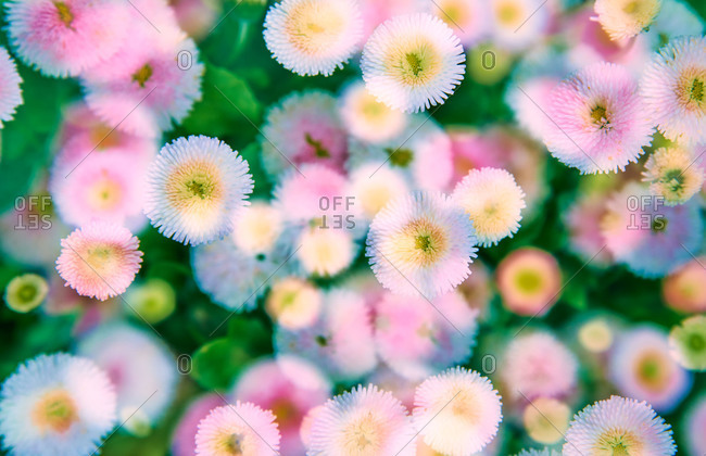 English daisies blooming in garden