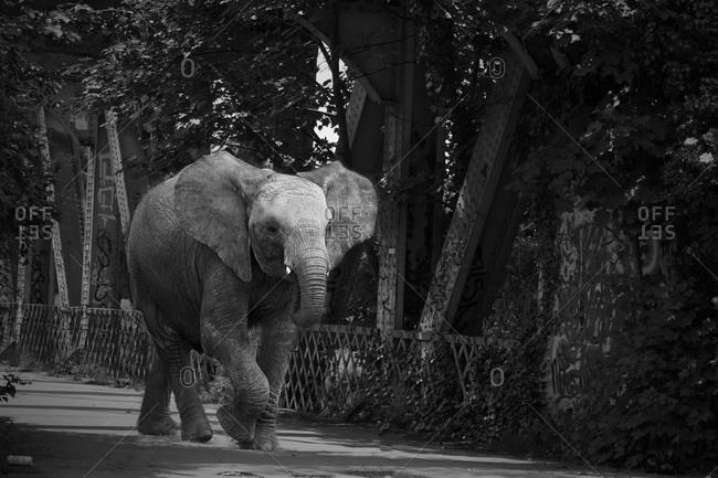 Elephant walking across a bridge alone