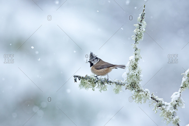 Crested tit bird on winter branch with beak wide open