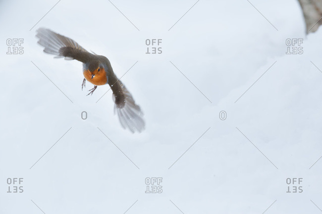 Robin flying in midair during winter