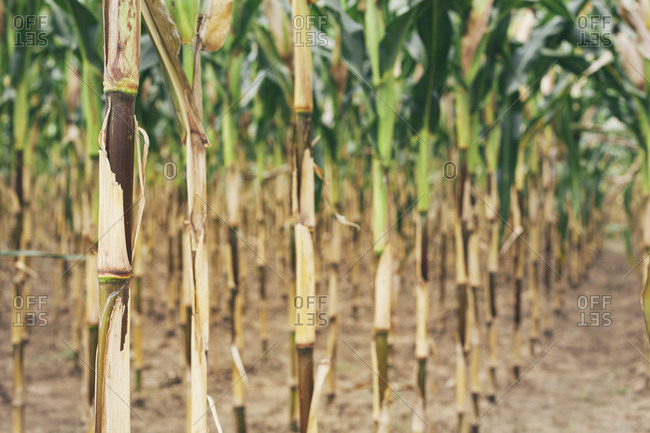 Row of maize plants in drought condition