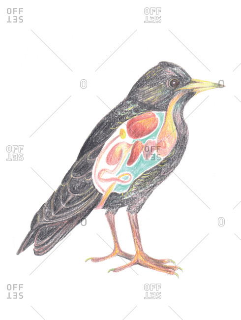 Illustration of a bird with view of its organs