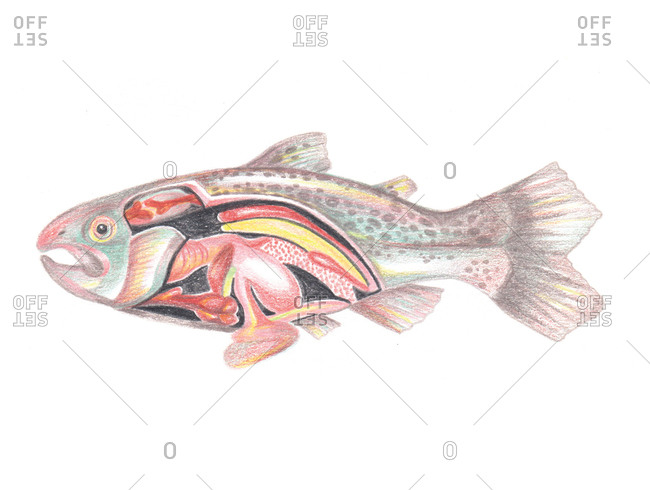Illustration of fish with internal organs showing