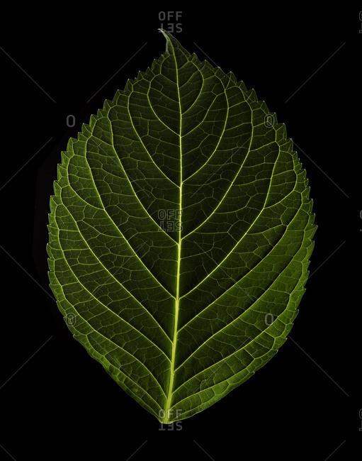 Studio shot of a green leaf