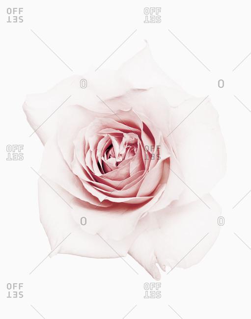 Close up of a light pink rose