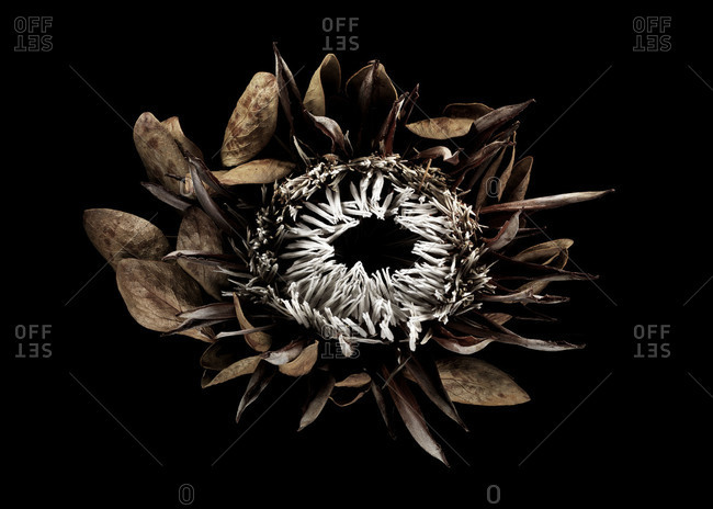 Dried flower on black background