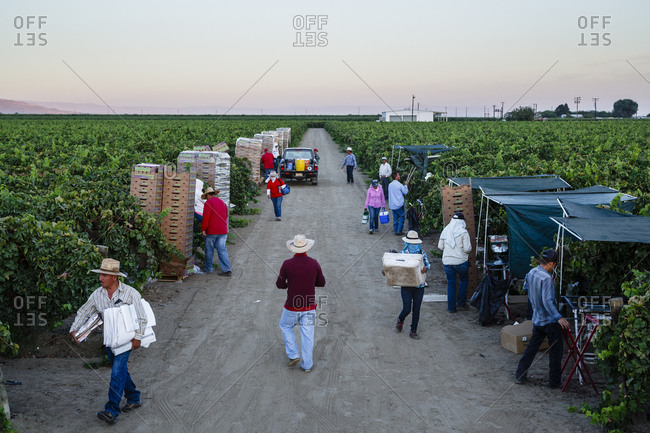 San Joaquin valley, California, USA - August 18, 2014: People harvesting grapes