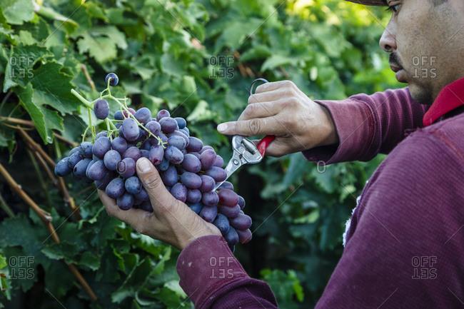 San Joaquin valley, California, USA - August 18, 2014: Man harvesting grapes
