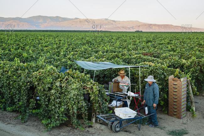 San Joaquin valley, California, USA - August 18, 2014: Men harvesting grapes