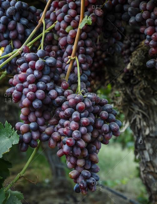Grape clusters in San Joaquin valley, California, USA