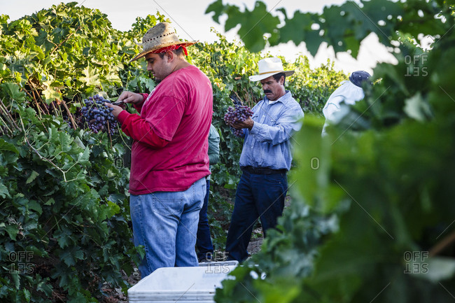 San Joaquin valley, California, USA - August 18, 2014: Workers harvesting red grapes
