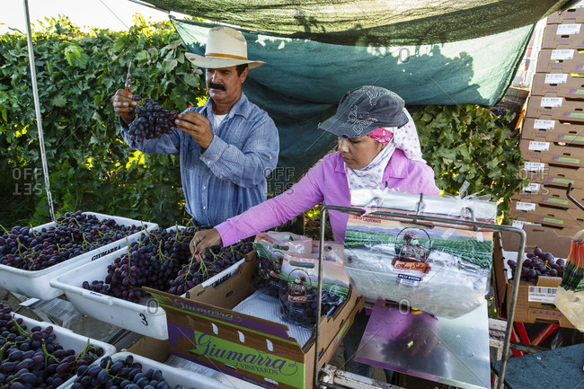 San Joaquin valley, California, USA - August 18, 2014: Workers arranging grapes