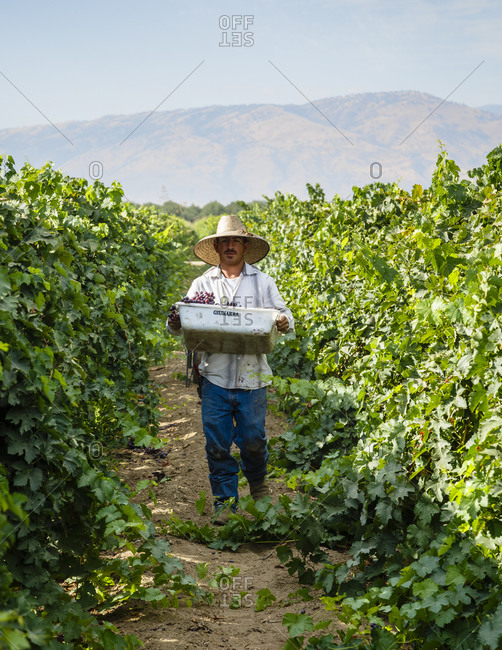 San Joaquin valley, California, USA - August 19, 2014: Worker picking grapes