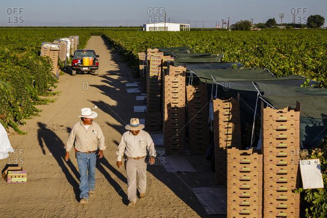 San Joaquin valley, California, USA - August 18, 2014: Men at a Grape harves