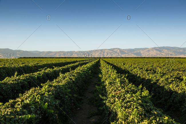 Vineyards in San Joaquin Valley, California, USA