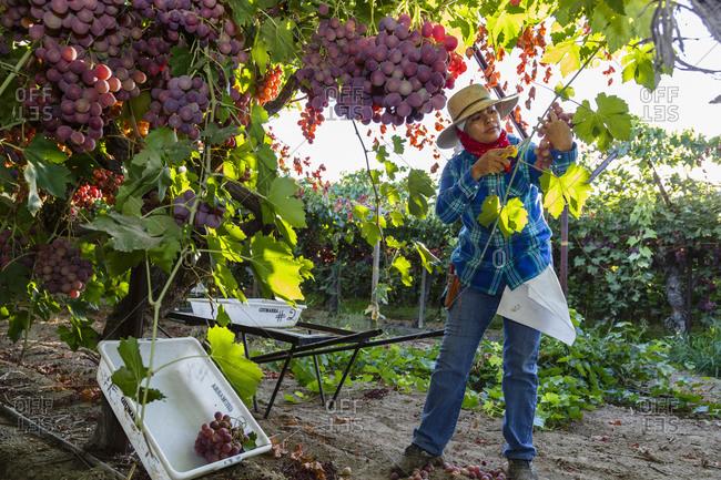 San Joaquin valley, California, USA - August 16, 2014: Woman harvesting grapes