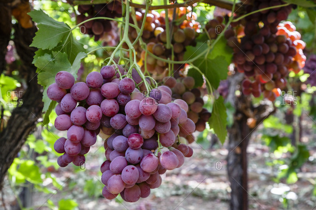 Bunches of ripe Red Globe grapes