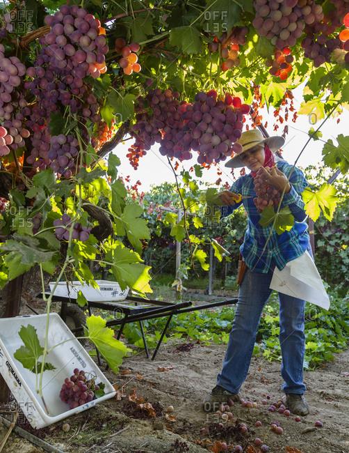 San Joaquin valley, California, USA - August 16, 2014: Woman harvesting grapes at a vineyard