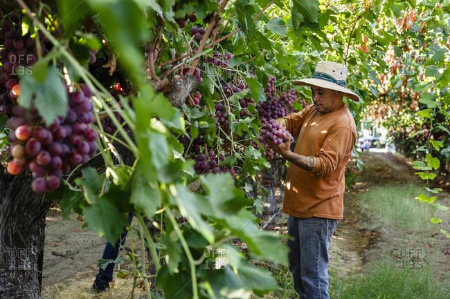 San Joaquin valley, California, USA - August 16, 2014: Man harvesting grapes at a vineyard