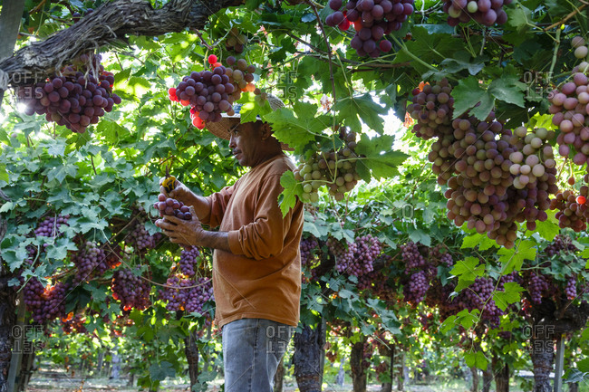 San Joaquin valley, California, USA - August 16, 2014: Man harvesting grapes