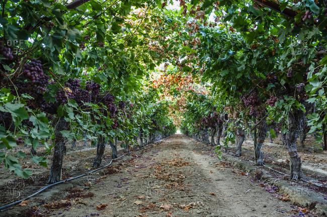 Vineyard in Bakersfield, California, USA