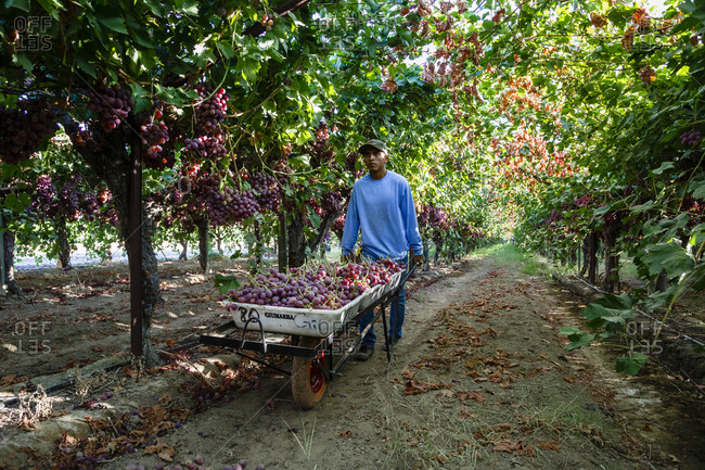 San Joaquin valley, California, USA - August 16, 2014: Man pushing a cart full of grapes at a harvest