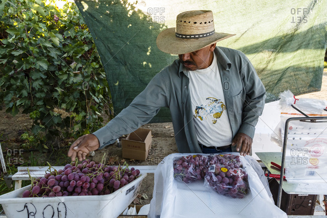 San Joaquin valley, California, USA - August 16, 2014: Worker packaging grapes