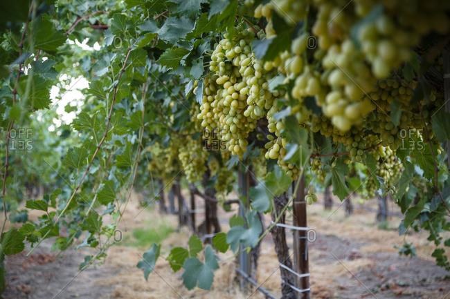 Grapes at a vineyard, San Joaquin Valley, California, USA